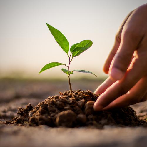 Planting a seedling.