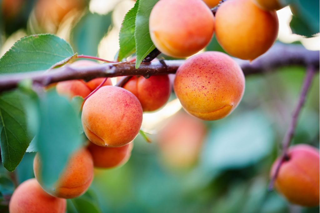 A bunch of ripe apricots on a branch.