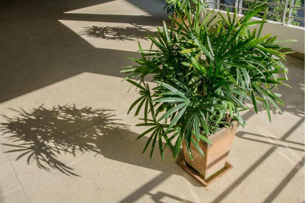 Bamboo palm indoors with shadows due to sunlight from outside the window.