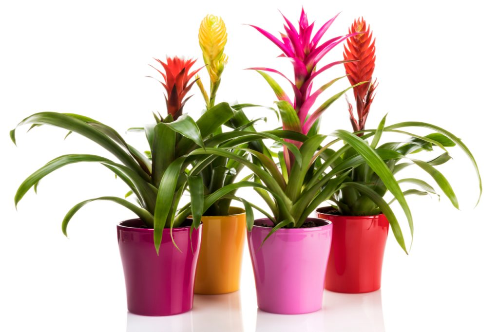 Variety of Bromeliad plants in colorful flower pots on white background