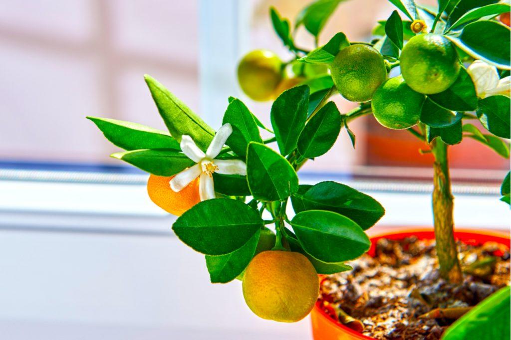 Calamondin Orange tree in a pot by the window.