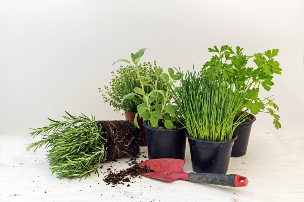 Assorted herb plants in pots such as rosemary, thyme, parsley, sage, and chives in white background.