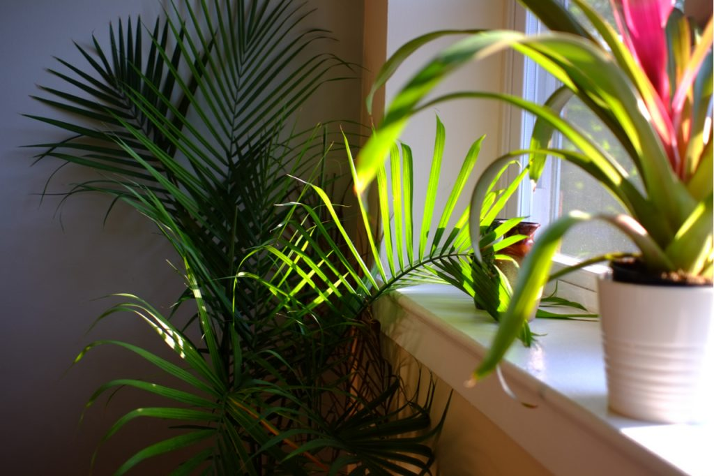 Majesty Palm plant in a planter box by the window.