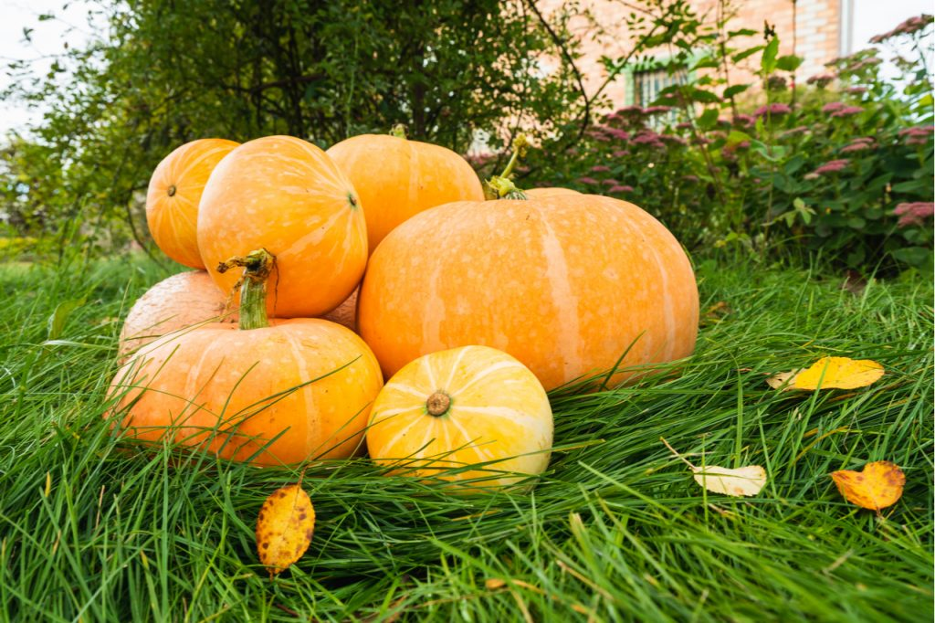 A pile of pumpkins on the grass.
