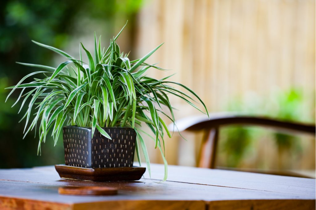Spider plant in a pot on a wooden table.