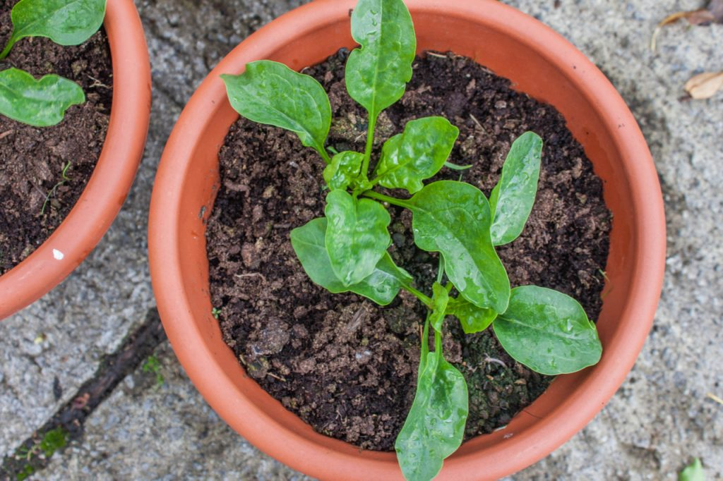 Spinach seedlings growing in plant pot.