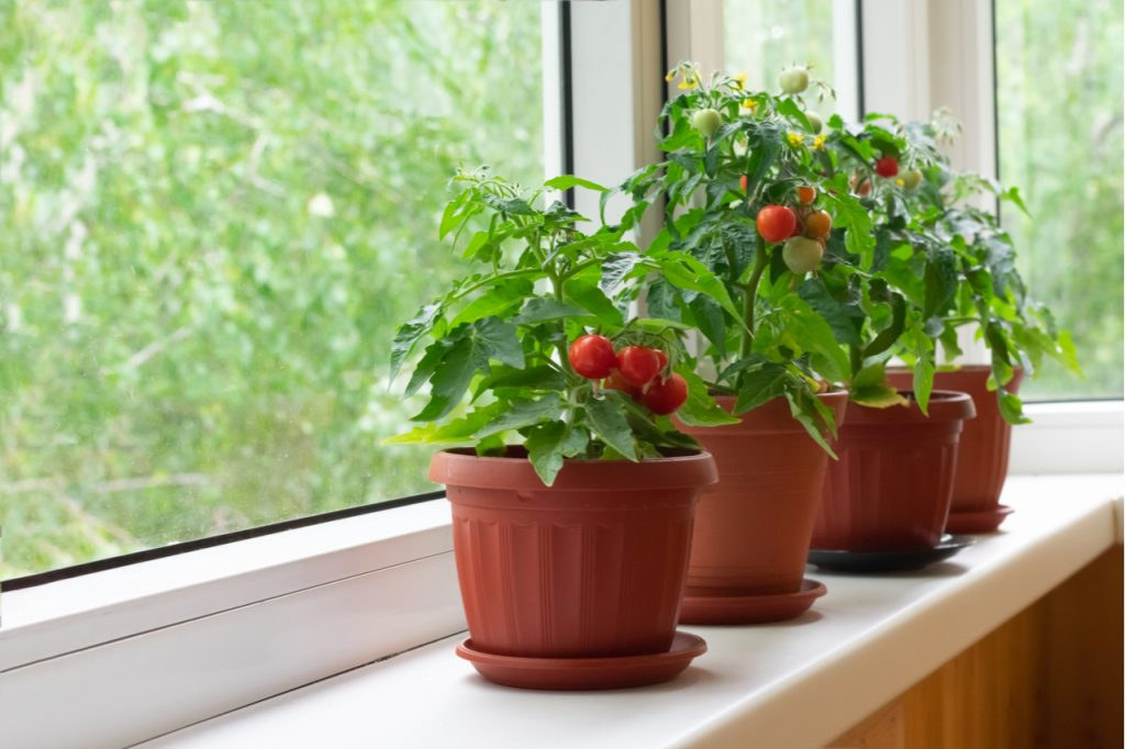 Cherry tomato plants in brown pots by the window.