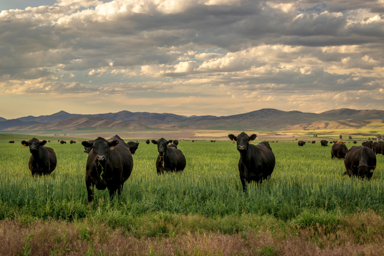 Herd of Black Angus cattle in grass field with evening sky.